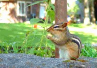 chipmunk by lodge