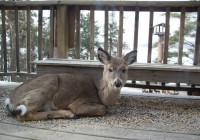 deer on cabin #19 deck