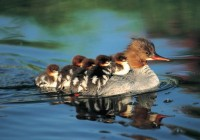 merganzer%20duck%20family[1]