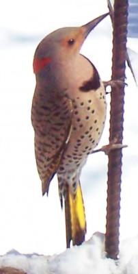bird%20flicker[1]