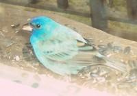 bird%20-%20indigo_bunting[1]
