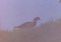 bird%20-%20wood_duck[1]