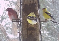 birds%20gold%20n%20purple%20finches[1]