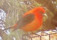 birds-%20scarlet%20tanager[1]