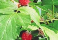 wild raspberries at CWC