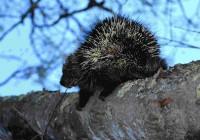 critters%20-porcupineInTreeWEB[1]