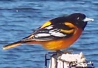 bird-BaltimoreOriole[1]