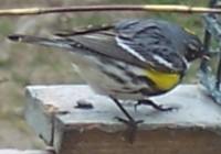 bird-yellow_rumped_warbler2[1]