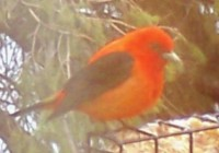 birds-{c55c8048ce70815a53cedbe8c58af6e7018bd1f9249d13e1ed06da752e55b489}20scarlet{c55c8048ce70815a53cedbe8c58af6e7018bd1f9249d13e1ed06da752e55b489}20tanager[1]