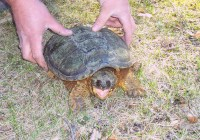 snapping_turtle[1]